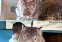 Look at this fat wombat!!!! / Holly cow, it's the size of a cow