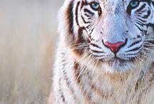 tigrees :3