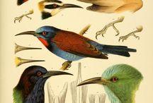 Birdguide drawings / getekend / geschilderd