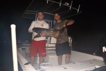 Cobia  / This board will have photos and information pertaining to the brown bomber AKA cobia.