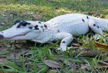 Alligators,crocodiles, gavials,kajmans