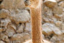 Don't mean to a-llama ya