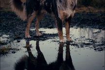 Andersollští psi / Vzhled čistokrevných Andersollských psů.  Andersollští psi jsou sportovně stavění, lehcí a poměrně malí. Průměrná výška se pohybuje okolo 75 cm, ale může jít i o něco níž. Existují dlouhosrsté i krátkosrsté varianty. Zbarvení bývá velmi pestré a různorodé. Uši jsou většinou překlopené nebo klopené, nikdy ne vzpřímené ani převislé.