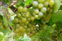 Moselwein / Alle Infos und Bilder die sich rund um das Thema Moselwein, Weinanbau und Weinherstellung drehen.