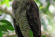 baglyok /owls