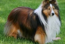 Dogdom: Shetland Sheepdog/Sheltie / A beautiful, faithful herder. / by Edna Lötter Botha