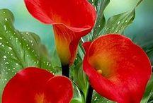 kanzascki / flores de cinta