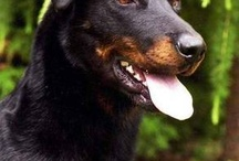beauceron- mix Morax