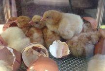 Are Eggs Alive? Cornerstones Topic