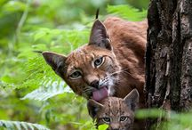 Lynx / Spotted and cute