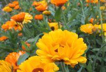 Companion Planting   / Companion Plants and Sacrificial Plants for Organic Gardeners.