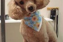 Lucy / Poodle Hair Cuts