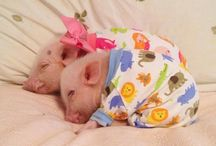 pigs are so cute my pig bord / animals