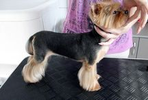 Wheatley / Crazy cute things fort little yorkie boy ^_^ / by ALeigh Orsatti