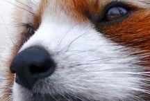 Red pandas - Vörös macskamedve