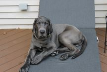 #Mastidane / #Great #Daniff / Daniff, Mastidane, Great Mastiff. Mix breed of English Mastiff and Great Dane!