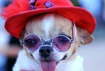 Chihuahua !!! / I love these little dogs their so cute!!  / by Debbie Campbell