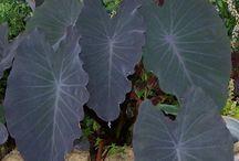 Exotiska växter / Växter för sommarhalvåret (ute)
