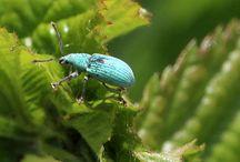 Weevil/Snuitkevers