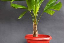 Decorative Palms / The easy to maintain house palms are here!