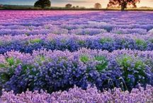 Flora… Lavender... Sweetly perfumed, intensely coloured, beautiful to behold... / Lavender fields are irresistible... / by Rosalyn Smaill