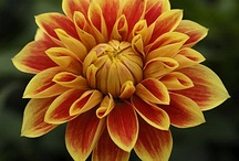 dalhias / Flowers