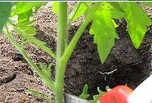 Domates bitkileri