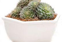 Sukulen / Semua tanaman dalam board ini bisa dikirim keseluruh Indonesia, silahkan order ya, tel: 0341-599399 I SMS center: 08569020300 atau kunjungi website kami www.kebunbibit.id