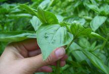 Herbs / by Backyard Industry