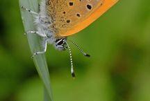 Vrij Vlinderen / Vlinderfotografie / Butterfly photography from Vrijvlinderen.nl