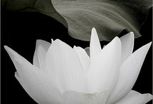 Lotus and Water Lillies / Flowers make me happy, esprecially Lotus and Water Lillies
