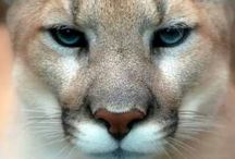#Cougars / Pictures of my favorite feline!