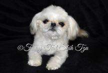 Fairy Tail Shih Tzu