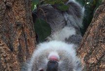 my koala