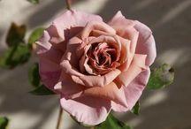 FLOWERS _ ROSES