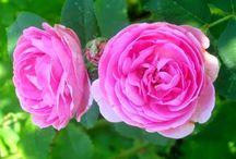 rosas / roses / El mundo de las rosas / A world of roses