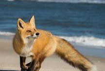 FOX )