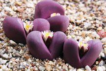 Cactus Lithops y algo mas