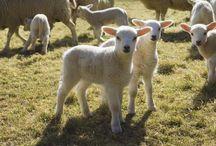 Sheep like Shaun Harry and Ginny