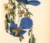 Audubon. Birds