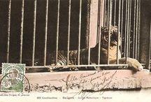 tiger in Saigon zoo