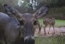 What do deer do? / Deer hunting is fun with a trail cam, and you get to hunt the same deer over and over