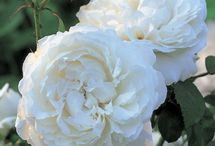 Les rosiers anglais
