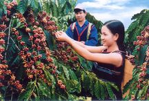 Coffee Festival / COFFEE FESTIVAL PROMOTING BUON MA THUOT BRAND  The festival aims to highlight the fifth Buon Ma Thuot's Coffee Festival promoting the coffee brand of the Tay Nguyen Central scheduled to take place from March 9-12.