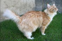 Maine Coon - Red Silver Mackerel & White / #MaineCoon #Red #Silver #Mackerel #White #Cats