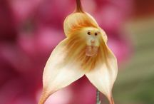 Monkey orchid / Crazy board, eh?