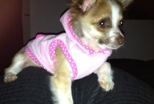 Paris ❤ My little chihuahua  / Puppy