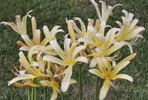2015 PDN Lycoris (Surprise Lily) / PDN has the largest collection in North America! There are two groups of lycoris (surprise lily/spider lily): those whose leaves emerge in fall (e.g., Lycoris radiata), and those whose leaves emerge in spring (e.g., Lycoris squamigera).          PDN  has the largest collection in North Amerca!