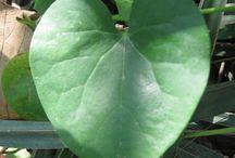 Herbal Medicine / Plant medicine and herbal remedies