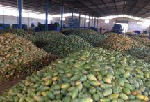 Mango Processing Plant @Chittoor, India / Mango Season 2013 :-IQF TOTAPURI MANGO SLICES & DICES. For more details - http://www.shimlahills.com/processed-mango-products.php
